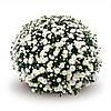 Хризантема Terano White d11