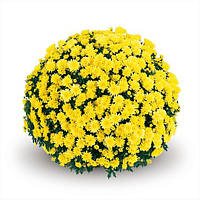 Хризантема Terano Yellow d14