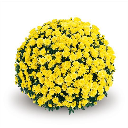 Хризантема Terano Yellow d11