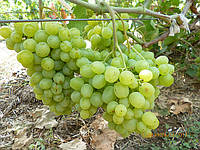 Черенки  винограда ( 34 наим.) Тасон, Первозванный  и  др. , фото 1