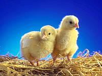 Цыплята мясо-яичных пород