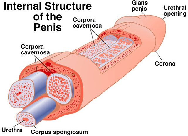 Размеры пениса увеличение