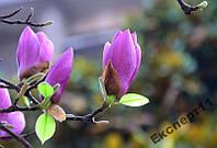 20 семян фиолетовой магнолии // магнолия 20 шт