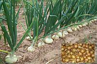 Лук голландский Штутгартер севок средне ранний, для весенней посадки плоской формы золотисто-коричневого цвета