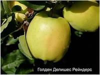 Саженцы яблони Голдан Рейнджерс