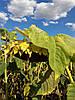 Семена подсолнечника Тиса Нови Сад (Сербия)
