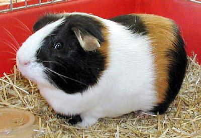 Ferplast CAVIE 80 GREENSUN Клетка для морских свинок, с открывающейся дверкой