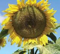 Семена подсолнечника Лимагрейн ЛГ 5555 КЛП