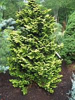 "Кипарисовик Тетрагона Ауреа Р9 19-22см (Chamaecyparis obtusa ""Tetragona Aurea"" ), фото 1"