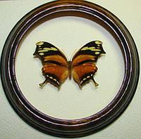 Сувенир - Бабочка в рамке Consul fabius. Оригинальный и неповторимый подарок!