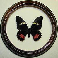 Сувенир - Бабочка в рамке Papilio anchisiades. Оригинальный и неповторимый подарок!