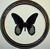 Сувенир - Бабочка в рамке Papilio rumanzovia m. Оригинальный и неповторимый подарок!