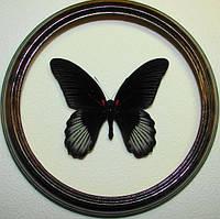Сувенир - Бабочка в рамке Papilio rumanzovia m. Оригинальный и неповторимый подарок!, фото 1