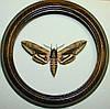 Сувенир - Бабочка в рамке Sphinx ligustri. Оригинальный и неповторимый подарок!