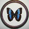 Сувенир - Бабочка в рамке Morpho microphthalmus. Оригинальный и неповторимый подарок!