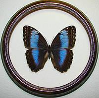 Сувенир - Бабочка в рамке Morpho microphthalmus. Оригинальный и неповторимый подарок!, фото 1