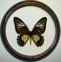 Сувенир - Бабочка в рамке Troides cuneifera f. Оригинальный и неповторимый подарок!