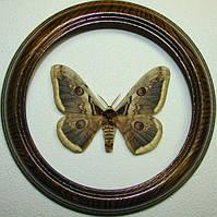 Сувенир - Бабочка в рамке Saturnia pyri. Оригинальный и неповторимый подарок!