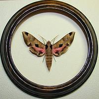 Сувенир - Бабочка в рамке Eumorpha achemon. Оригинальный и неповторимый подарок!