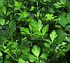 ГИГАНТЕ ДЕ ИТАЛИЯ - семена петрушки листовой, 1 кг., SEMO