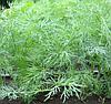 КОМПАКТ - насіння кропу, 2 кг., SEMO
