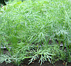 КОМПАКТ - семена укропа, 1 кг., SEMO
