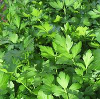 ФЕСТИВАЛЬ - семена петрушки листовой,  500 грамм, SEMO