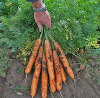АНИНА - семена моркови Нантес, 500 грамм, SEMO, фото 1