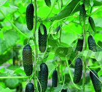 ДАФНЕ F1 - семена огурца партенокарпического, 1 000 семян, SEMO, фото 1