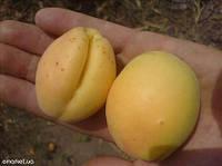 Саженцы абрикоса Ананасный, фото 1