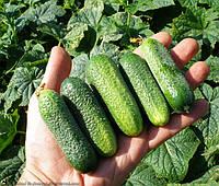 ГАРРІЕТ F1 - насіння огірка партенокарпічного, SEMO, фото 1