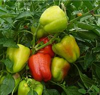 КВАДРИ F1 - семена перца сладкого, 1 000 семян, Semo