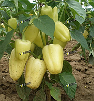 АМІКА F1 - насіння перцю солодкого, 1 000 насінин, Semo