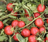 ПРОТОН - семена томата детерминантного, 10 000 семян, SEMO, фото 1