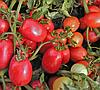 СЕМАПРИМ F1 - семена томата детерминантного, 1 000 семян, SEMO