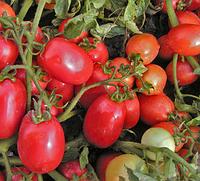 СЕМАПРИМ F1 - семена томата детерминантного, 1 000 семян, SEMO, фото 1