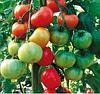 ТОРО F1 - семена томата индетерминантного, 1 000 семян, SEMO