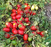 ШЕЙК - насіння томату дететерминантного, 10 000 насінин, Semo