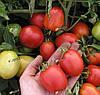 ЭСКОРТ - семена томата детерминантного, 10 000 семян, Semo