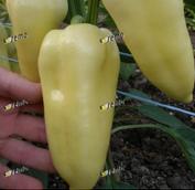 СУПЕРАМИ F1 - насіння перцю солодкого, 1 000 насінин, Semo, фото 1