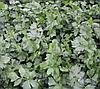 ЕМНИ - насіння листового селери, 100 грам, Semo