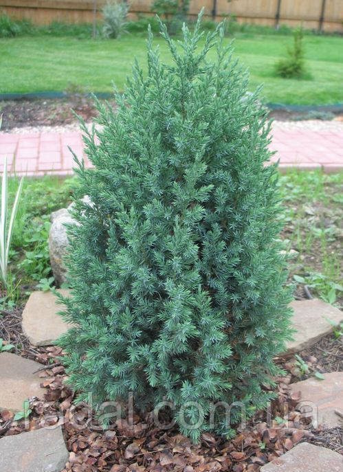 Можжевельник китайский Стрикта Р9 ( Juniperus chinensis Stricta )