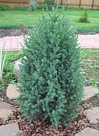 Можжевельник китайский Стрикта Р9 ( Juniperus chinensis Stricta ), фото 1