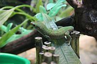 Мадагаскарский дневной геккон (Фельзума)