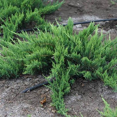 Можжевельник казацкий 'Tamariscifolia', в 3-литровом контейнере