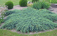 Можжевельник чешуйчатый 'Blue Carpet', контейнер С3 a-0,20-0,30, фото 1