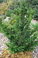 """Кипарисовик туполистный Филикоидес 30см (Chamaecyparis obtusa """"Filicoides"""" )"""