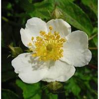 Отдушка Роза Мультифлора, 1 литр
