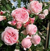 Роза Джардина