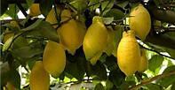 Лимон Лунарио (Citrus Limon Lunario) 10 - 20 см. Комнатный, фото 1